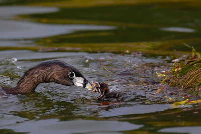 Pied-billed grebe - feeding time