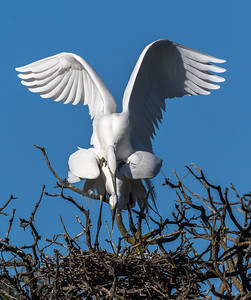 Great egret makes off..