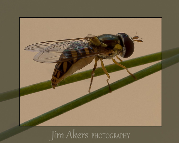 Looks like a bee but actually it is harmless and is called a hover fly