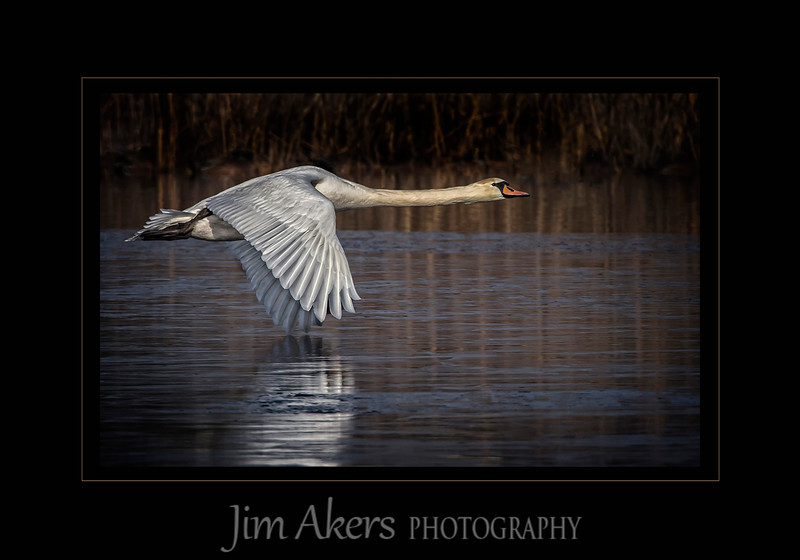 """Power Wings Skim the Frozen Pond"" won Best of Show and 1st Place in the Nature category at the May 2015 Professional Photographers of Los Angeles County digital photography competition. This photo scored a 90 out of 100 points. The shot was taken in Cape May, New Jersey in January of 2015. It was about 30 degrees and early in the AM as in 7AM. I used a Canon 1DX camera with a Canon 500mm lens on a Induro tripod and gimbal head. The distance was 200 feet or more.<br /> This photo also received a merit at the Professional Photographers of America International Photography Competition."