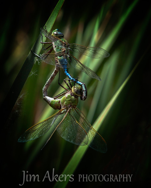 """Dragonfly Follies"" merited with an 81 at the Professional Photographers of California 2015 competition. This photo will be on display in March at the Pasadena, CA Convention Center.  This is a high degree of difficulty to capture this moment.<br /> This photo won a 1st place in the Macro/Close-up category at the Santa Clarita Valley Photography Association."