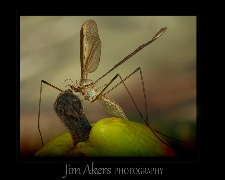 """Texas Size Mosquito"" took third place in the Macro/close-up category in the fall Santa Clarity Valley Photography Association competition."