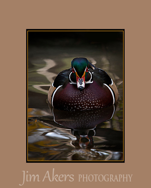 """These waters are mine"" is the title.  Male wood duck-Franklin Canyon Park, Los Angeles"