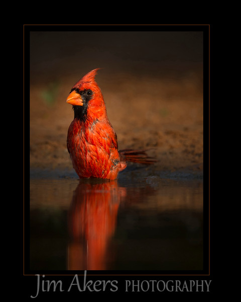 """Big Red Loves the Water"" this photo of a cardinal was shot near McAllan, TX. It recently received a merit of 81 at the Santa Clarita Valley Photographers Association 2015 Spring Print competition."