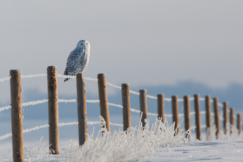Snowy owl, east of Calgary<br /> Winner, 2013 Calgary Stampede Western Landscape and Wildlife Competition