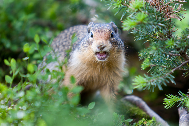 Columbia Ground Squirrel, Sunshine Meadows, Banff<br /> Second place, Sunshine Meadows photo contest