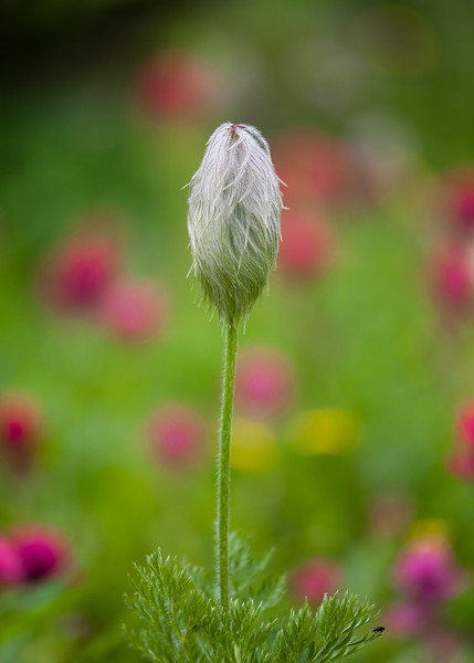 Western Anemone, at Sunshine Meadows in Banff<br /> First Place, Sunshine Meadows photo contest