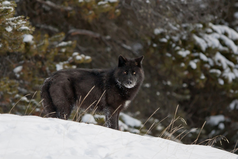 Black wolf, Banff National Park