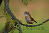 Carolina Wren<br /> Selected to be used in the Thayer Birding Software