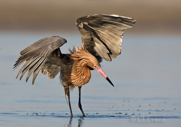 Reddish Egret Dance