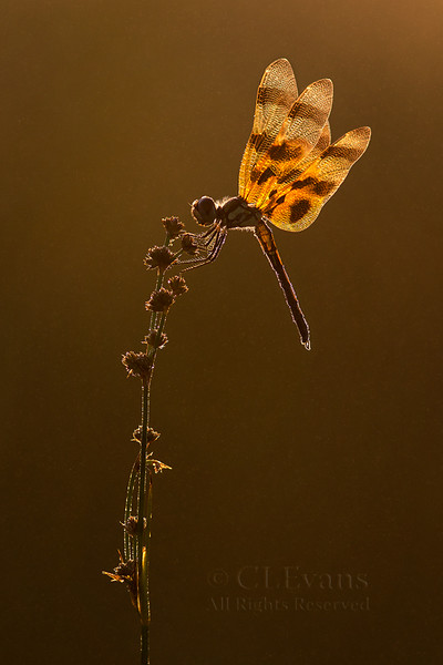 Halloween Pennant in early morning mist