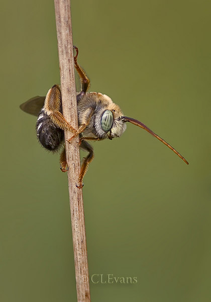 Hanging Around, Long-horned Bee