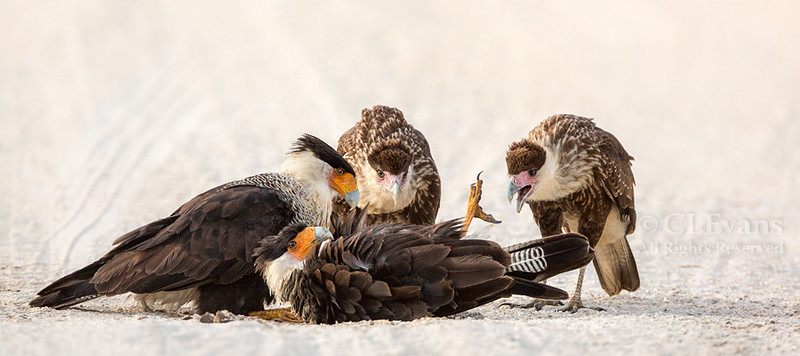 Crested Caracara family -- Sand bathing lessons