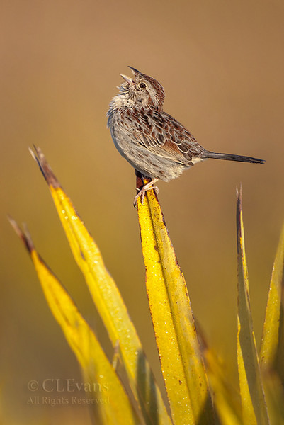 Bachman's Sparrow Song