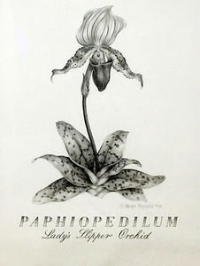 PAPHIOPEDILUM was in the International Juried Botanical Art Exhibit at the New York Horticultural Society