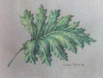ACANTHUS MOLLIS LEAF / Acanthaceae