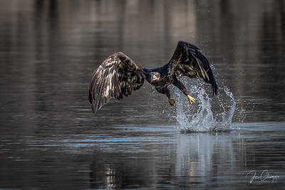 """The Miss"" - Bald eagle at Conowingo Dam, Md."