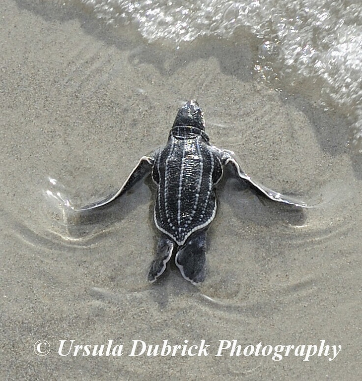Published in 2010 Sea Turtle Conservancy Calendar