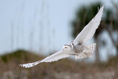 Snowy Owl at the Beach - Jacksonville, FL