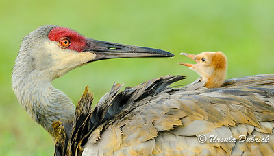 One of top 100 photos in 2013 Audubon Photo Compeition