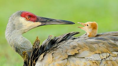 One of top 100 photos in 2013 Audubon Photo Compeition