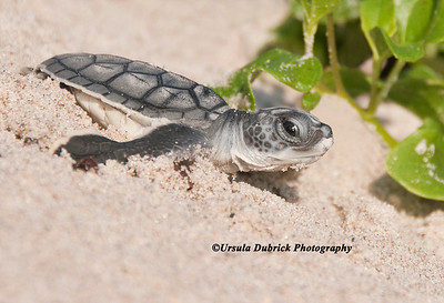Published in several calendars - Green Sea Turtle Hatchling