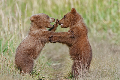 Brown Bear Cubs - Photo of the month F-Stop Foundation, June 2018