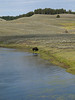 Bison, Yellowstone