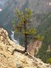 Tree over Yellowstone canyon