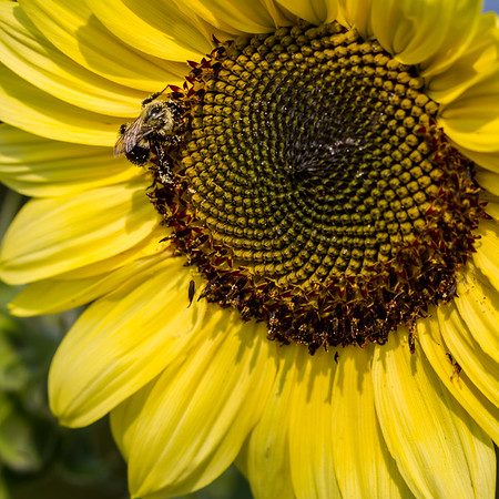 Sunflower & Honey Bee