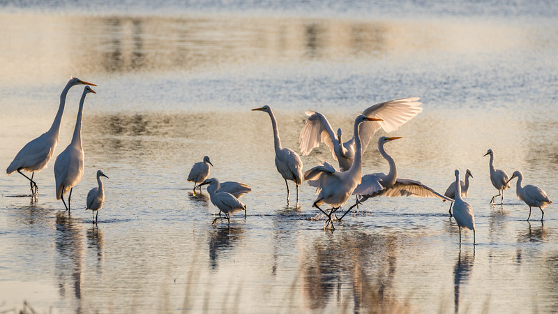 Great Egrets Displaying
