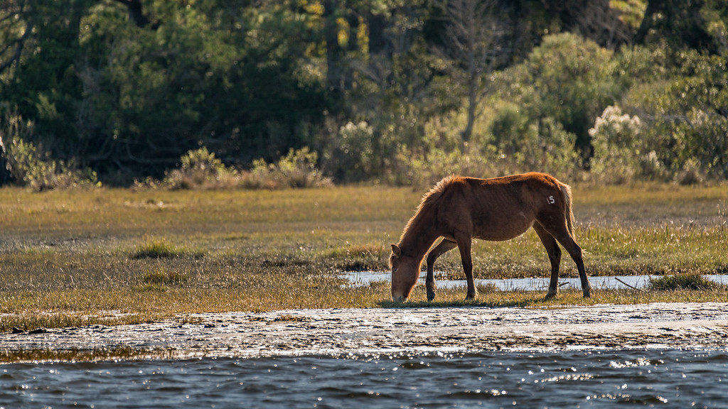 Feral Chincoteague Pony Grazing on the Shore