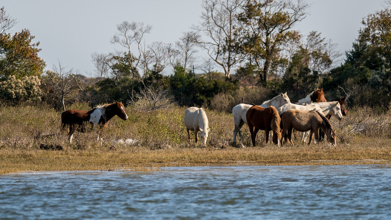 Chincoteague Herd November