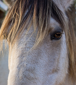Chincoteague Pony Close-up