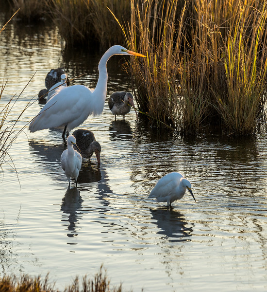 Great Egret, Snowy Egrets and Juvenile White Ibis