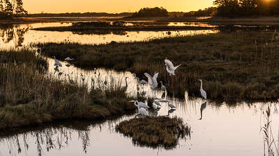 Great Egrets in Conversation