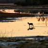 Sika Deer Crossing Pond in Chincoteague