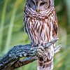 Barred Owl Studying Ground for Movement