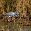 Breeding Adult Tricolored Heron