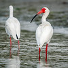 Adult Breeding White Ibis Pair