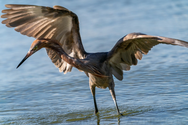 Reddish Egret Wing-flicking and Open-wing Foraging Behavior, 3