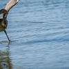 Reddish Egret Wing-flicking and Open-wing Foraging Behavior, 5