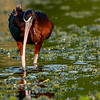 Glossy Ibis Foraging
