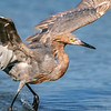 Reddish Egret Wing-flicking and Open-wing Foraging Behavior, 7