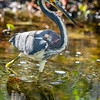Tricolored Heron Foraging 1