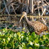 Limpkin and Water Hyacinth