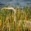 Great Blue Heron in Marsh Grasses