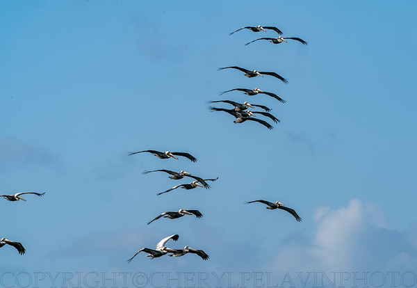 Squadron of Brown Pelicans 1