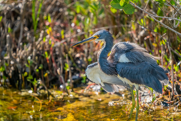 Tricolored Heron  Fluffing up Feathers