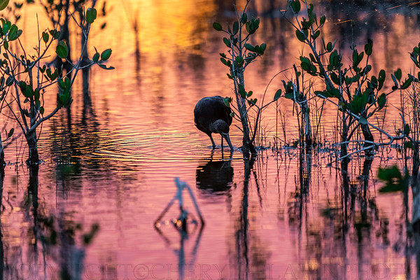 Glossy Ibis Foraging at Sunset